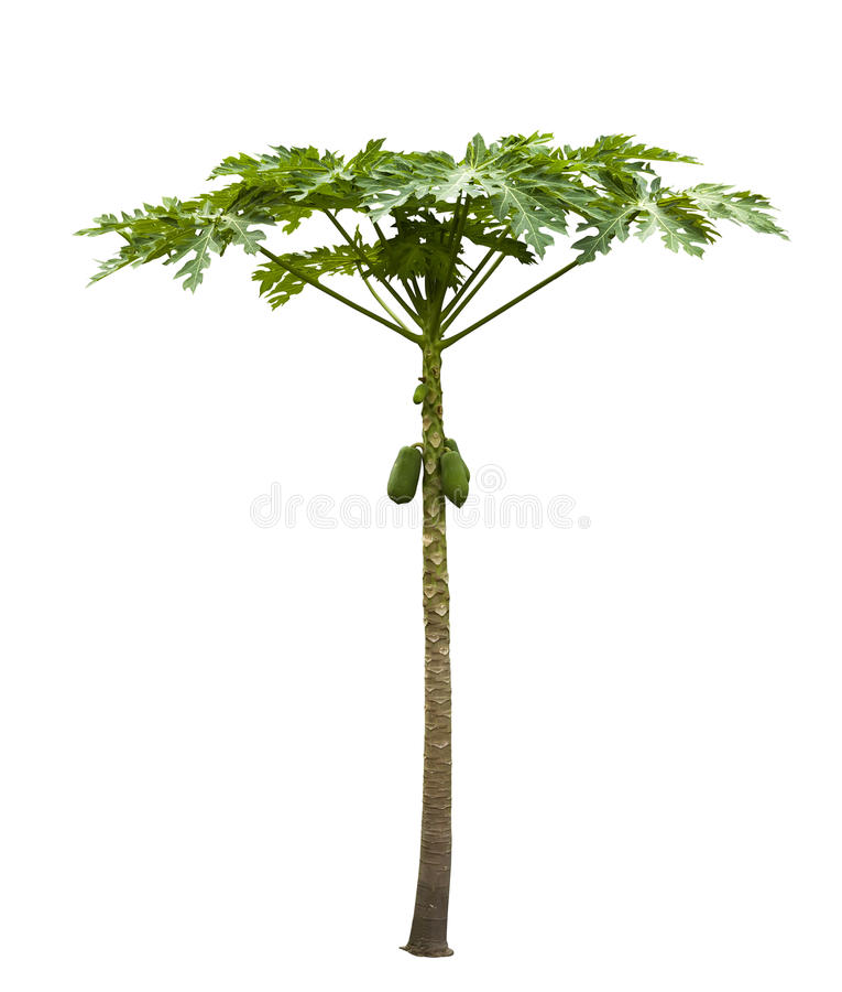 Papayabaum (Carica Papaya) lokalisiert auf Weiß lizenzfreie stockfotografie