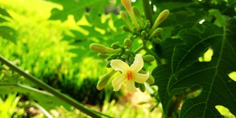 Papayablomma royaltyfria foton