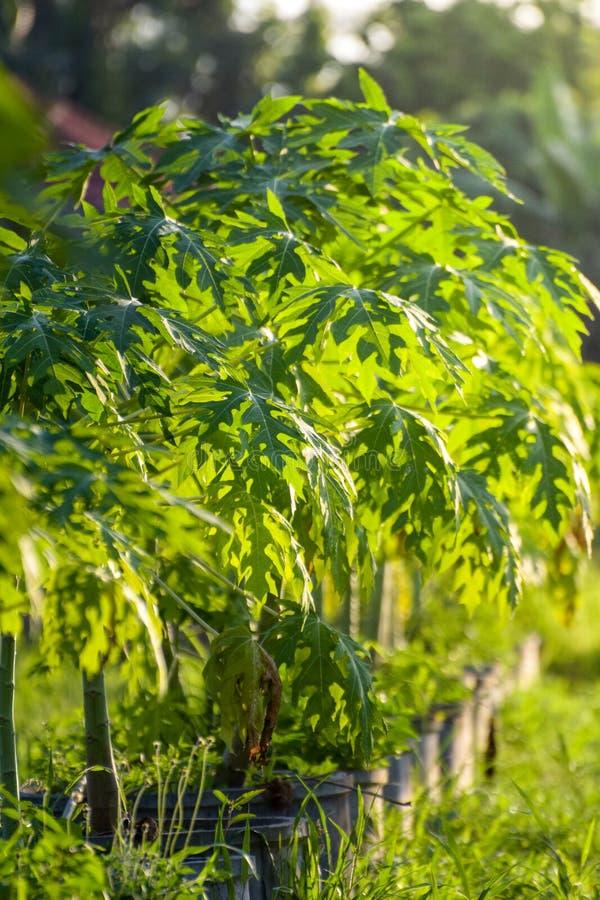 Papayaen eller pawpawen är växten, den mogna frukten av papayaen är vanligt ätit rått, utan hud eller frö Den omogna gröna frukte royaltyfri bild