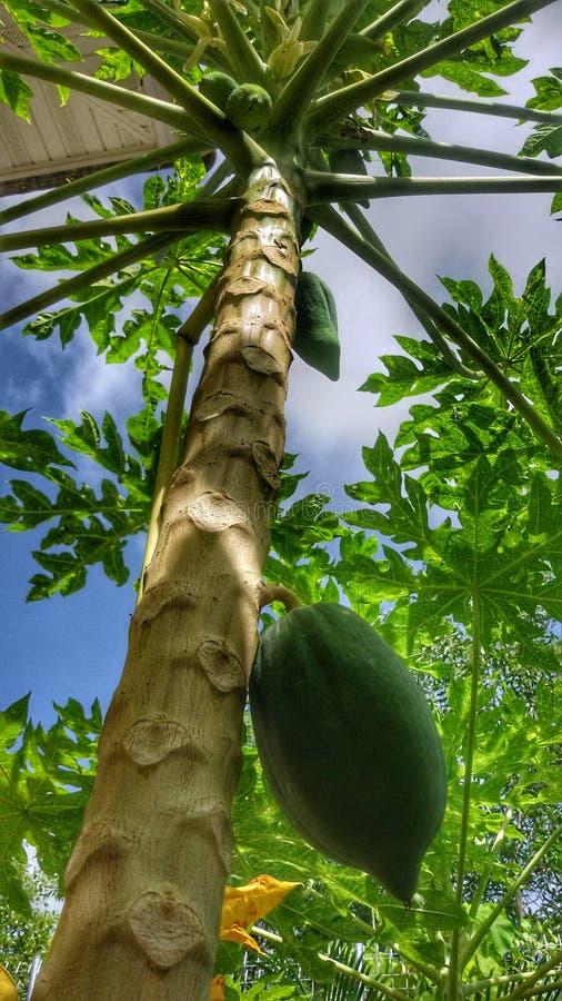 Papayafruchtanlage stockfotografie