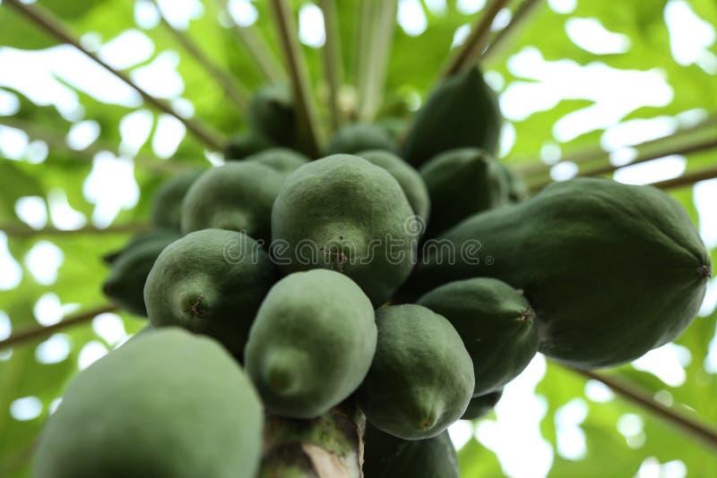 Papayafrukter som hänger nära, papayaträd, Kerala Indien arkivfoton