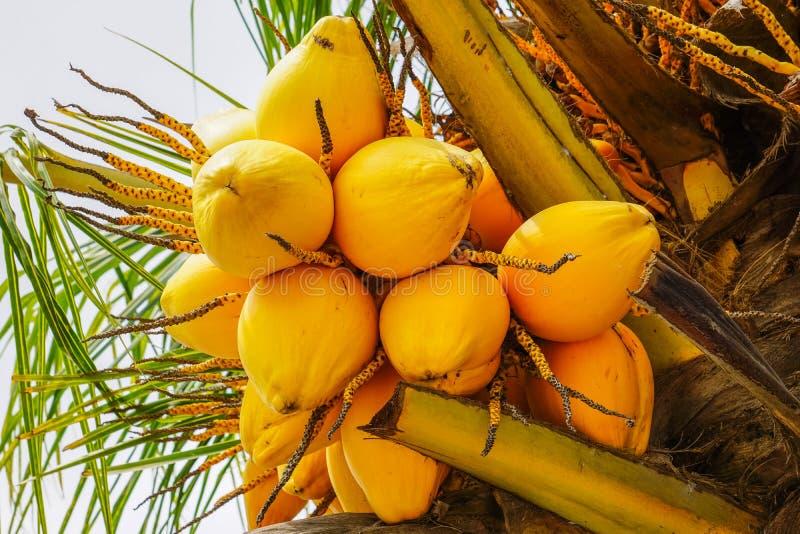 Papayaguling bär frukt på det tropiska papayaträdet arkivbild