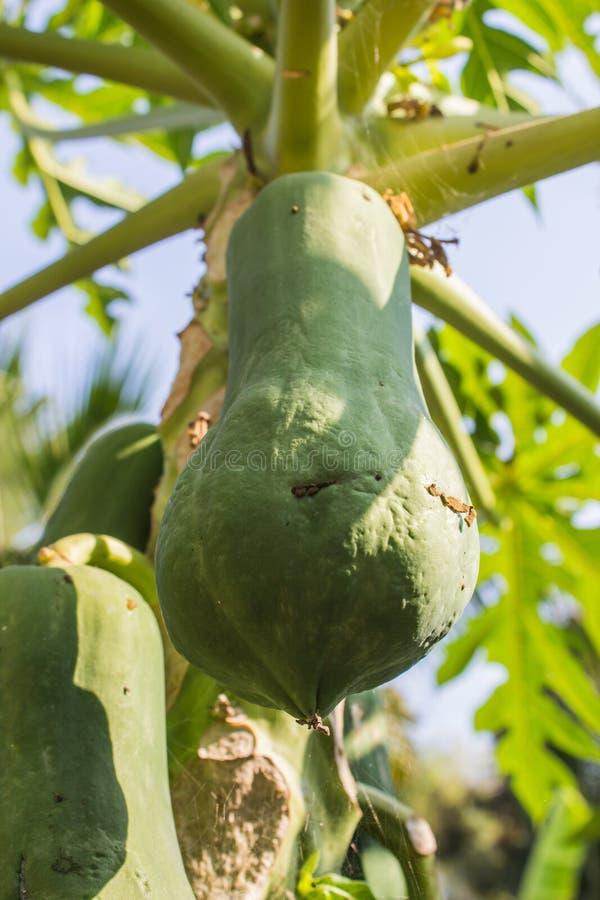 Papayas, die vom Baum hängen lizenzfreie stockfotografie