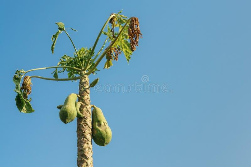 Papayaträd i den torra säsongen royaltyfria bilder
