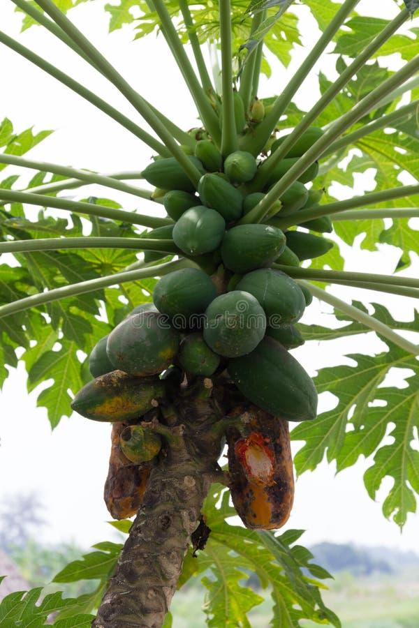 Papayaträd med av växtsjukdomen arkivfoto