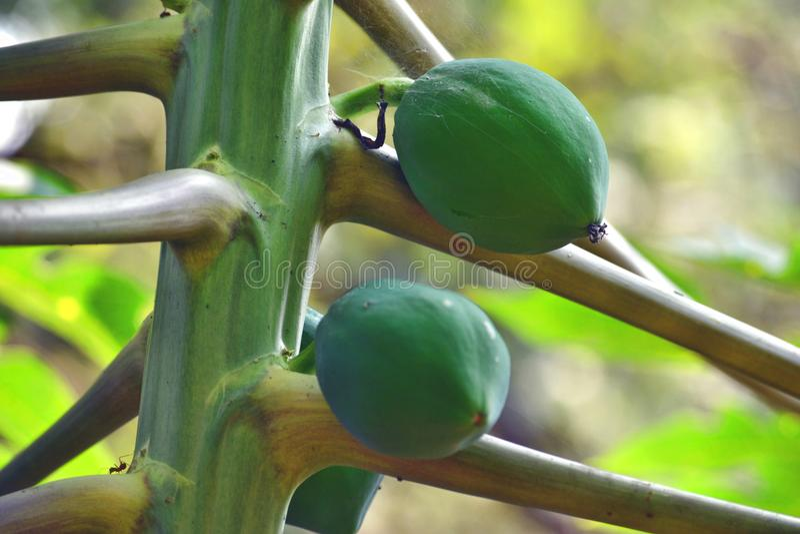 Papayaträd med barnpapayaen arkivfoto