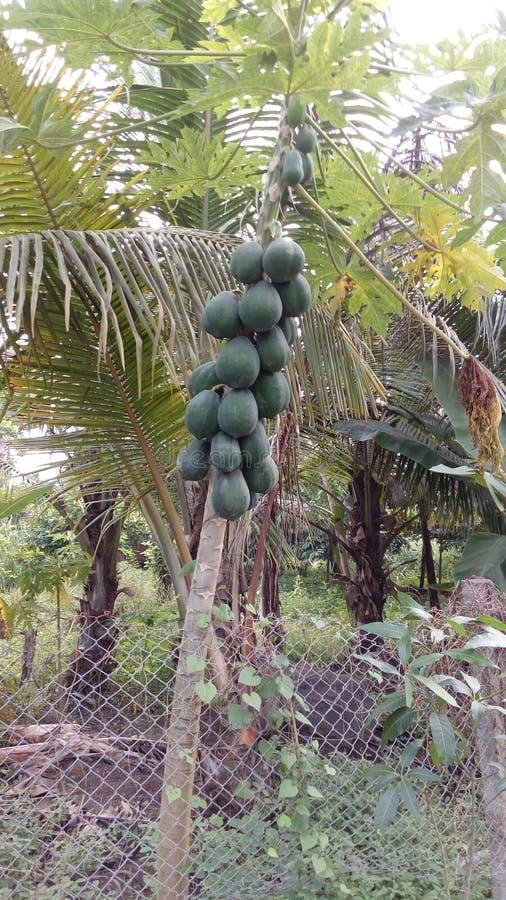 Papayaträd som växer vid staketet i skog royaltyfri foto