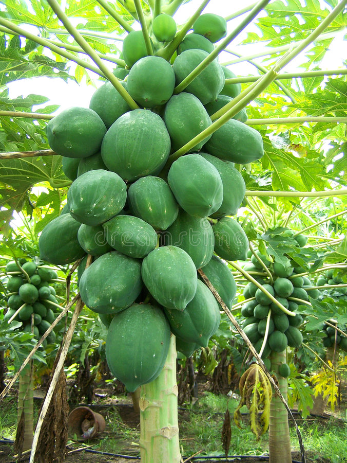 papayatree royaltyfri bild