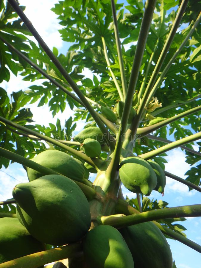 Papayaväxt med frukter royaltyfria bilder