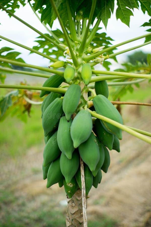 papaye photo stock