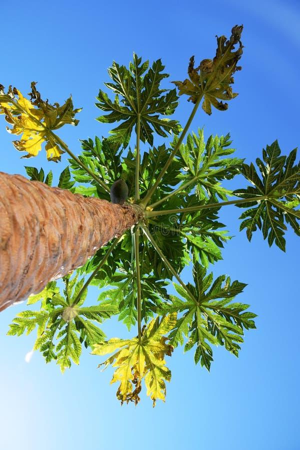 Papayer dans une vue de ciel bleu de dessous images libres de droits