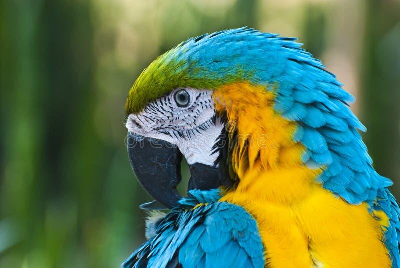 Download Papegaai stock afbeelding. Afbeelding bestaande uit macaw - 29503221