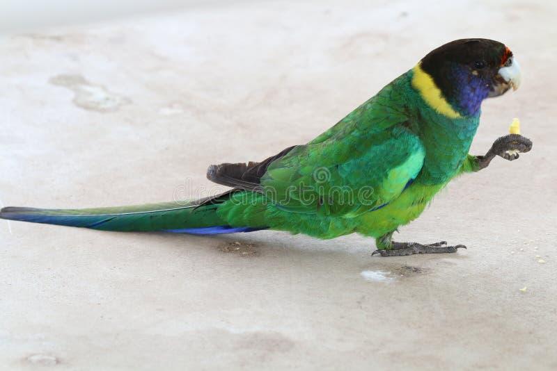 Papegaai stock foto's