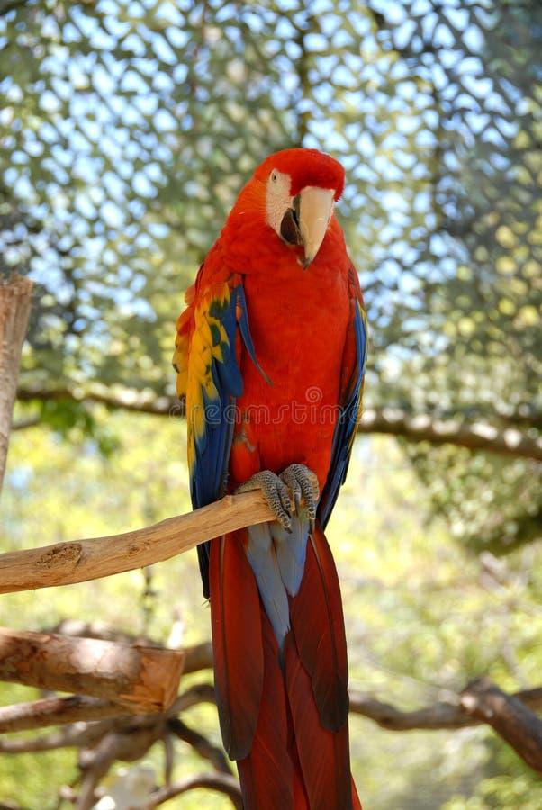 Papegaai stock fotografie