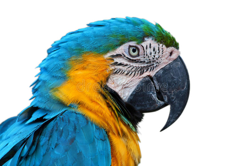 Papegaai, blauw-en-Gele Ara royalty-vrije stock fotografie