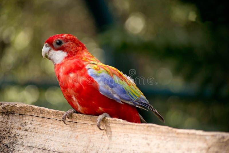 Papegaai in de dierentuin royalty-vrije stock fotografie