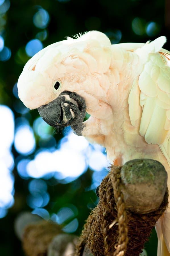 Papegaai (de Kunst van het Luisteren) stock afbeeldingen