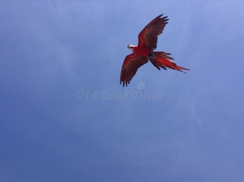 Papegaai die boven vliegen royalty-vrije stock fotografie