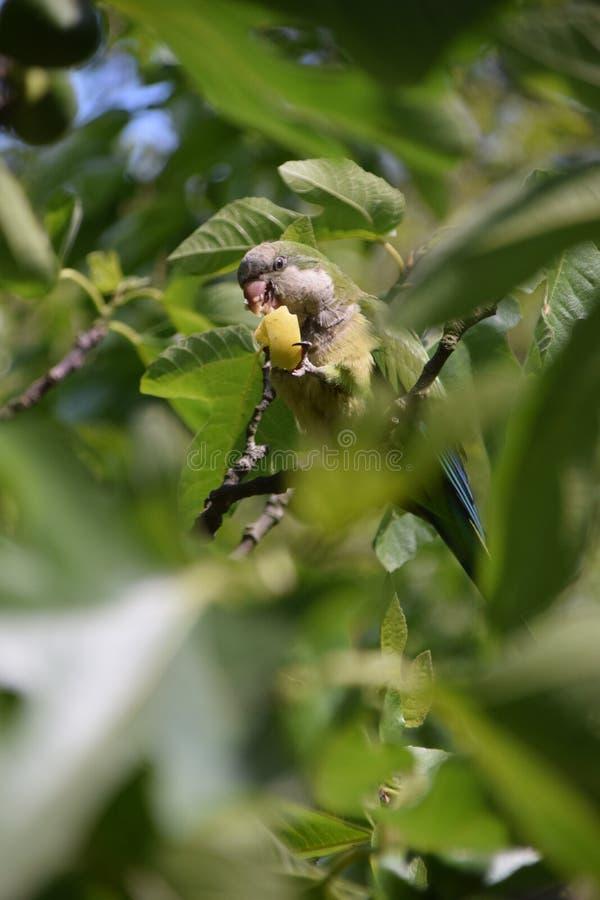 Papegaai die een appel op bladeren eten royalty-vrije stock foto