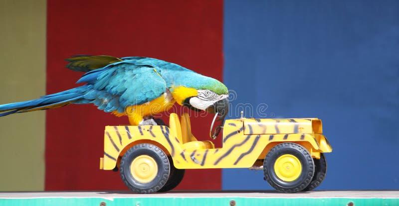 Papegaai die een auto drijft stock afbeelding