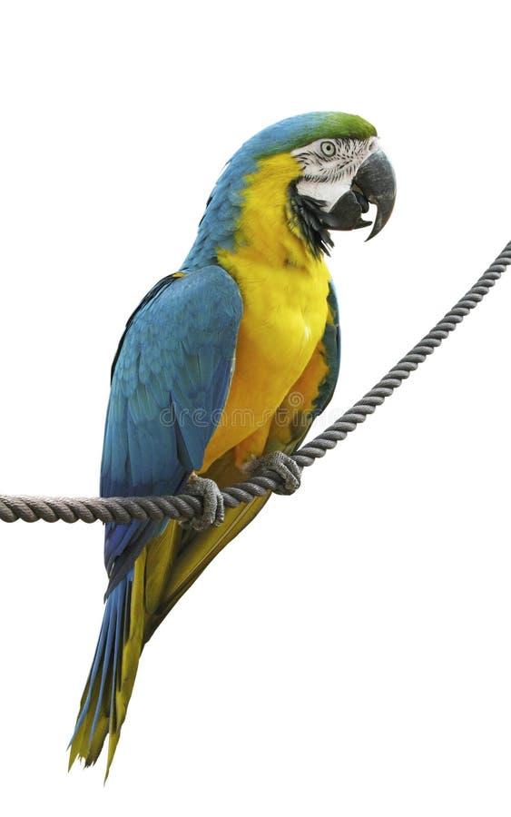 Papegaai die in kabel ophoudt royalty-vrije stock afbeeldingen