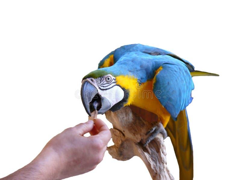 Papegaai die van de hand eet stock afbeeldingen