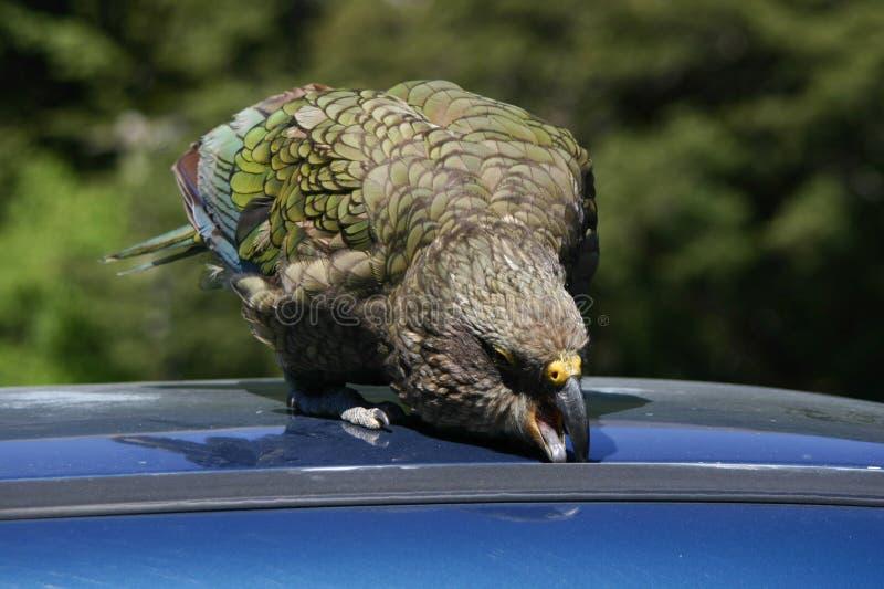 papegaai die van de vogelkea van nieuw zeeland de inheemse in een auto probeert te krijgen stock. Black Bedroom Furniture Sets. Home Design Ideas
