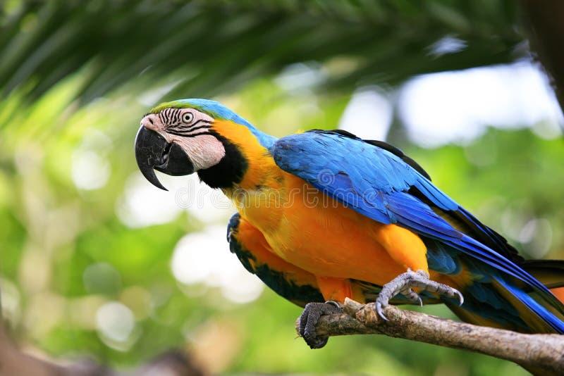 Papegaai op een tak stock foto