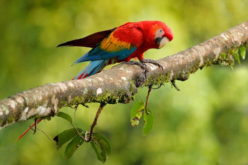 Papegaai Scharlaken Ara, Aronskelken Macao, in groen tropisch bos, Costa Rica, het Wildscène van tropische aard Rode vogel in het royalty-vrije stock foto's
