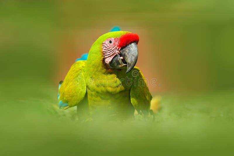 Papegaai van Costa Rica Wilde papegaaivogel, groene papegaai groot-Groene Ara, Aronskelkenambigua Wilde zeldzame vogel in de aard royalty-vrije stock foto
