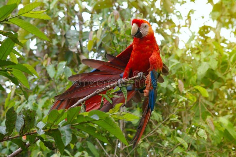 Papegaaiara - Aronskelkenararauna in het regenwoud royalty-vrije stock afbeeldingen