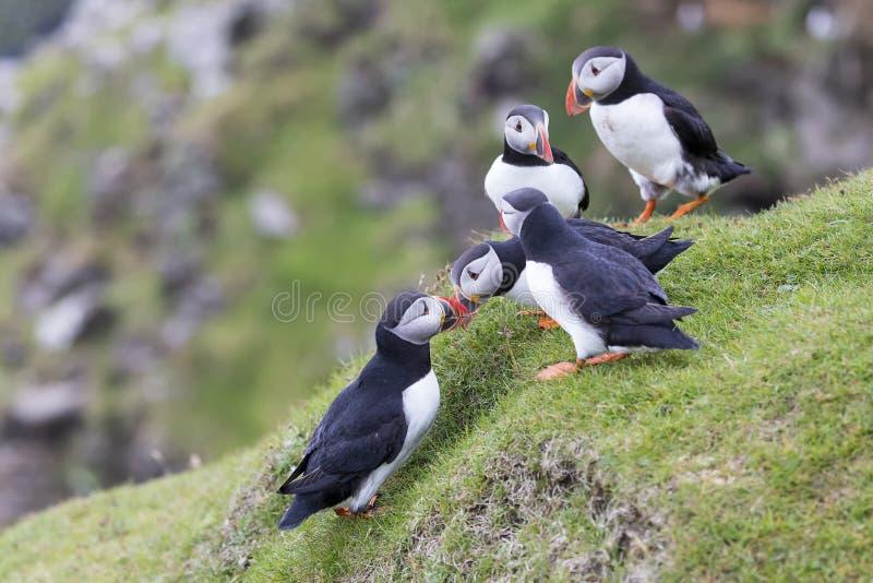 Papegaaiduiker die op de groene richel van de grasklip op partners wachten om Fr te terugkeren royalty-vrije stock afbeelding