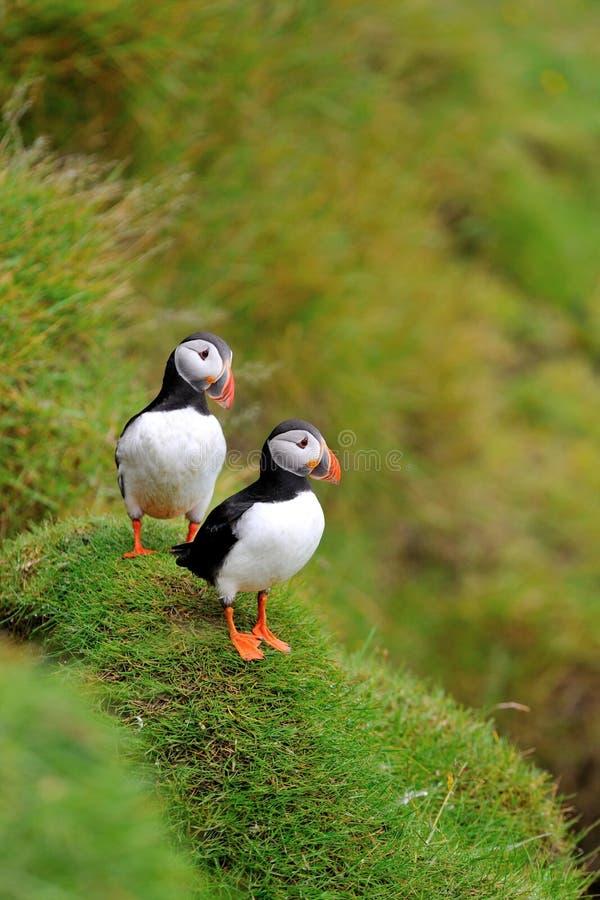 Papegaaiduiker, IJsland royalty-vrije stock foto's