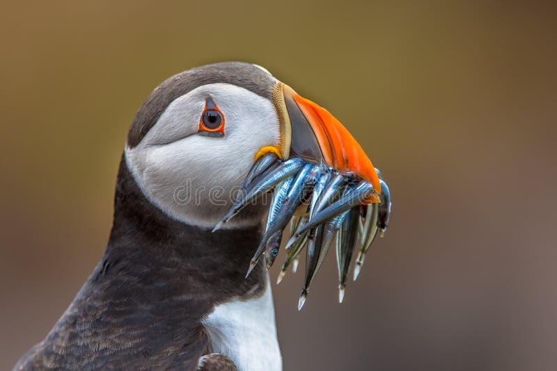 Papegaaiduiker met bekhoogtepunt van palingen royalty-vrije stock fotografie