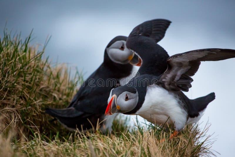 Papegaaiduikerpaar op een richel royalty-vrije stock fotografie