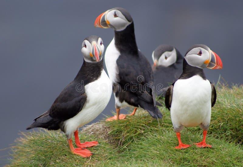 Papegaaiduikers in IJsland stock afbeelding