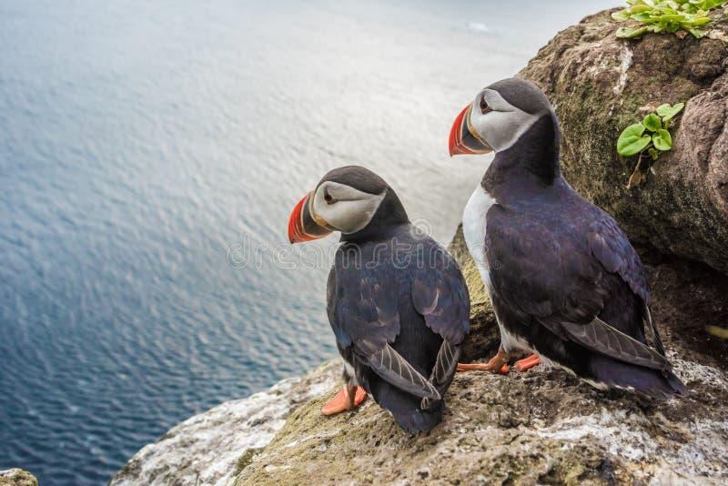 Papegaaiduikers op de Latrabjarg-klippen, het Westenfjorden, IJsland stock afbeeldingen