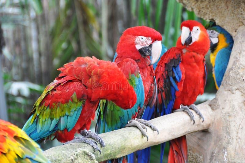 Download Papegaaien stock afbeelding. Afbeelding bestaande uit vierkant - 29505787