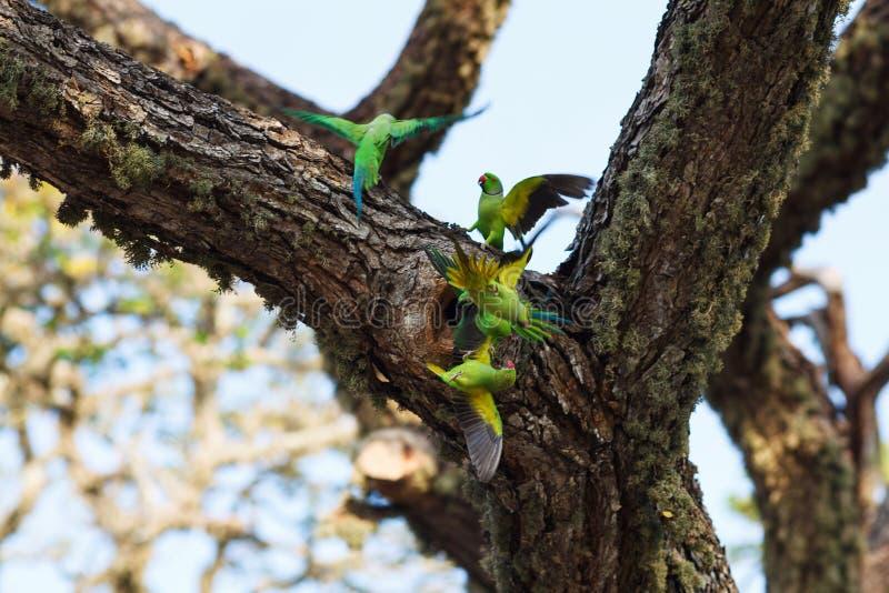 Papegaaien die over nest vechten stock foto