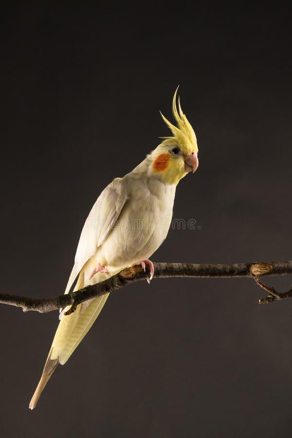 Papegaaiportret, Gele Cockatiel-Korst omhoog Dichte Omhooggaand, geïsoleerd op Zwarte achtergrond stock afbeeldingen