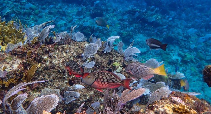 Papegaaivissen die op koraal in de oceaan snacking royalty-vrije stock afbeelding