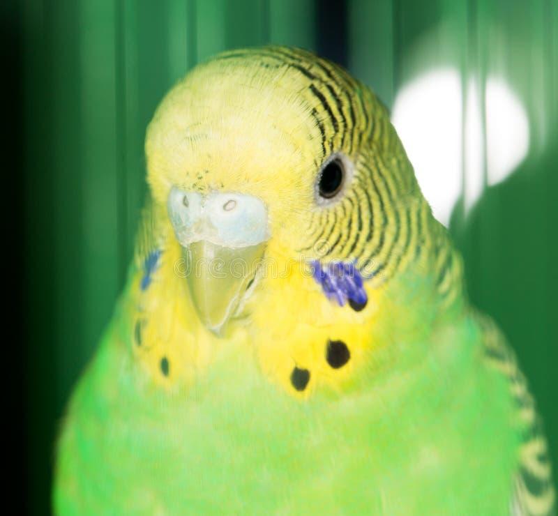 Download Papegoja fotografering för bildbyråer. Bild av härlig - 106834877