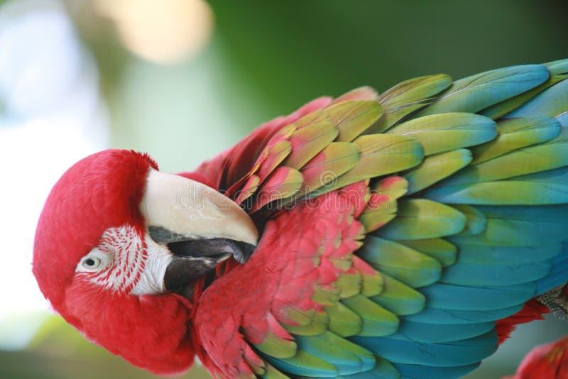 Download Papegoja fotografering för bildbyråer. Bild av adopterar - 517243