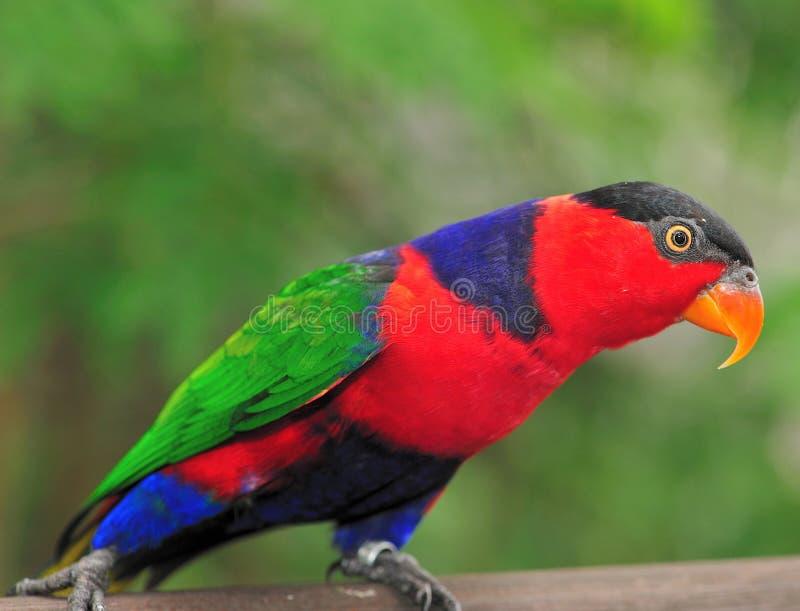 papegoja 7 arkivbild