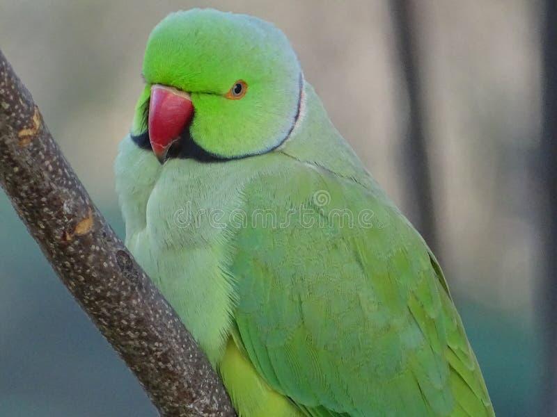 Papegoja av kramerien eller ros-ringed parakiter på filialen av ett träd fotografering för bildbyråer