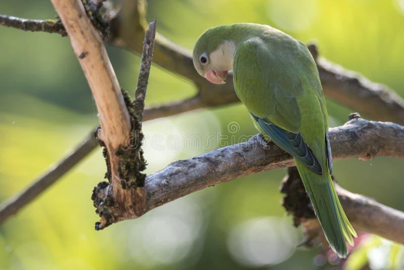 Papegoja för Brotogeris tiricagräsplan arkivbild