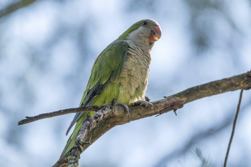 Papegoja för Brotogeris tiricagräsplan arkivbilder