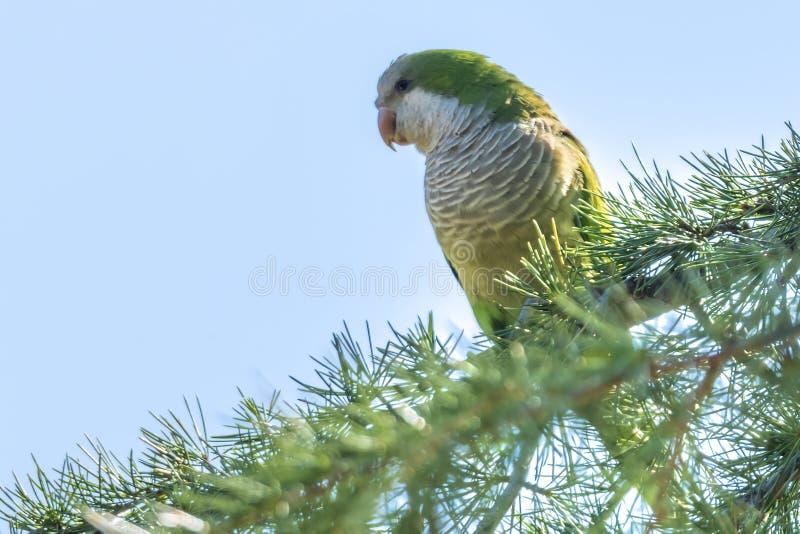 Papegoja för Brotogeris tiricagräsplan fotografering för bildbyråer