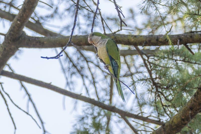 Papegoja för Brotogeris tiricagräsplan royaltyfri fotografi