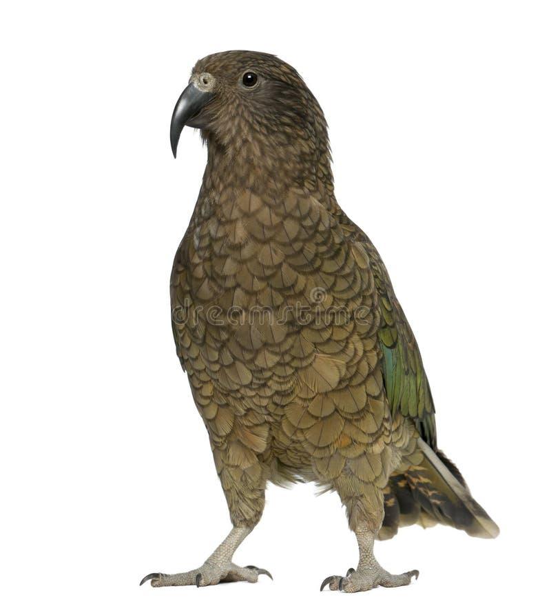 papegoja för keanestor notabilis arkivbild